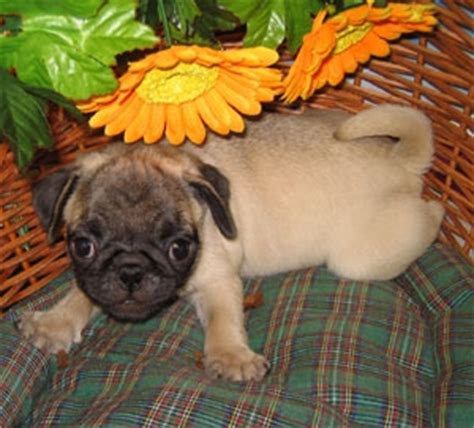 pug puppies for sale in new york purebred pug puppies for sale in new york