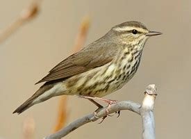 northern waterthrush identification all about birds