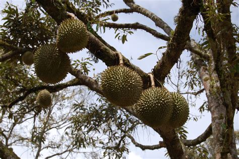 durian fruit tree durian info pruning and the durian