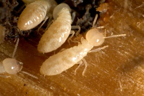 termite custom woodworks home maintenance tip how to check for termites atlantic