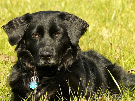 golden retriever in black golden retriever black lab mix flickr photo breeds picture