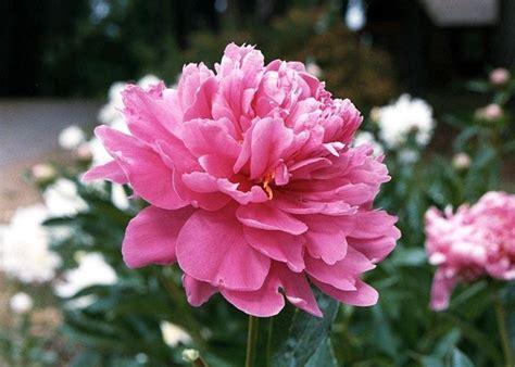 fiore definition fiori peonia fiori di piante