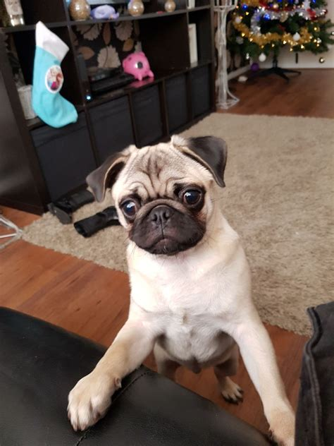 pugs for sale 500 pug for sale 500 lovely puppy runcorn cheshire pets4homes