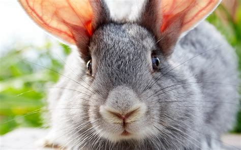 grey rabbit wallpaper portrait picture of a gray rabbit hd animals wallpapers