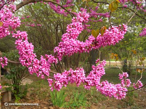 flowering redbud tree picture