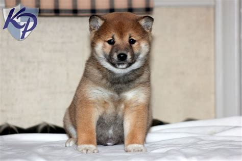 husky inu puppies for sale black shiba puppyhusky wallpaper tyson shiba inu puppies for sale in pa keystone