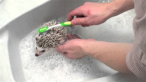 hedgehog bathtub how to give a hedgehog a bath youtube