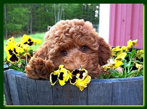 labradoodle puppies for sale in ga southern charm labradoodles american and australian labradoodle puppy breeder