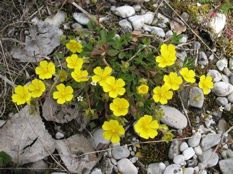 piante fiori gialli piante dai fiori gialli gpsreviewspot