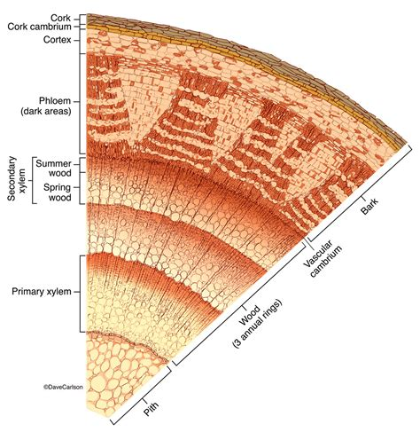 woody dicot stem cross section woody dicot stem structure carlson stock art