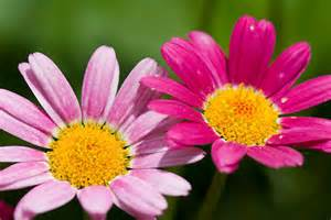Daisy Facts Canada Floral Delivery Blog Fun Facts About Daisies
