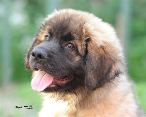 leonberger puppy leonberger puppies morpeth northumberland pets4homes