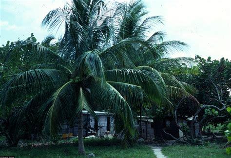 Jual Bibit Kelapa by Jual Bibit Kelapa Dalam Jual Bibit Tanaman Dan Jasa