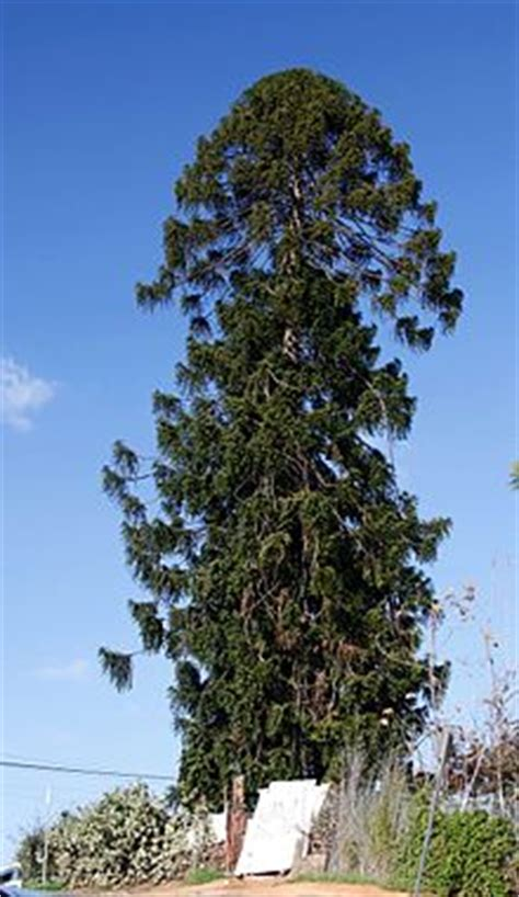 tree los angeles el pino the pine tree