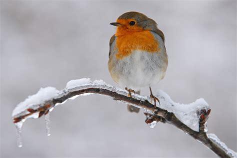 Rotkehlchen Im Winter 4661 by Rotkehlchen Erithacus Rubecula Fotos Bilder Naturfotos