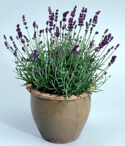 lavanda vaso plante lavanda para perfumar a casa jardim das ideias