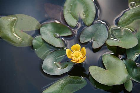 fiori acquatici nomi fiori gialli acquatici gpsreviewspot