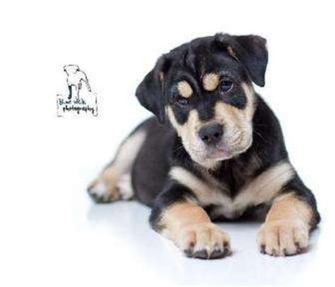 puppies for adoption rochester ny tige adopted puppy 4410093 rochester ny rottweiler mastiff mix