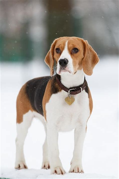 how much are beagle puppies best 25 beagles ideas on