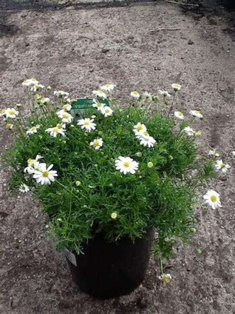 cut leaf daisy white   plants garden supplies