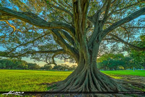 Hd Wall Murals topeekeegee yugnee park hollywood florida under banyan tree