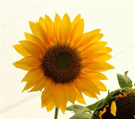 Lensa Bunga Canon bunga matahari abdul haris nasution