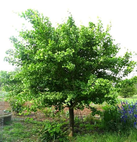 maidenhair tree jade butterfly gingko biloba 15 x10