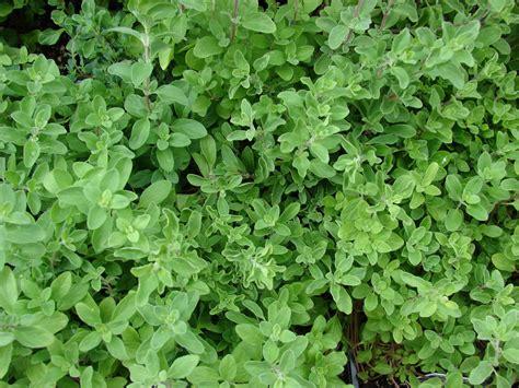 marjolaine cuisine marjolaine planter et cultiver ooreka