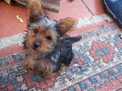 different yorkie coats different types of yorkie coats with pictures terrier breed 187