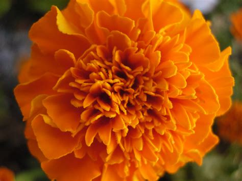 marigold color marigold tagetes world of flowers