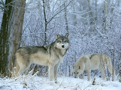 wolf s the troll dens wolves in snow