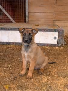 belgian shepherd laekenois puppies for sale berner laufhund puppies puppy dog gallery