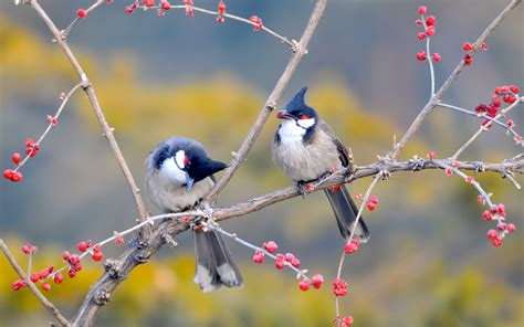 wallpaper for walls with birds red whiskered bulbul birds wallpapers hd wallpapers id