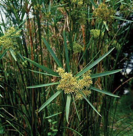 Which Plant Is Used To Make Paper - papyrus plant students britannica homework help