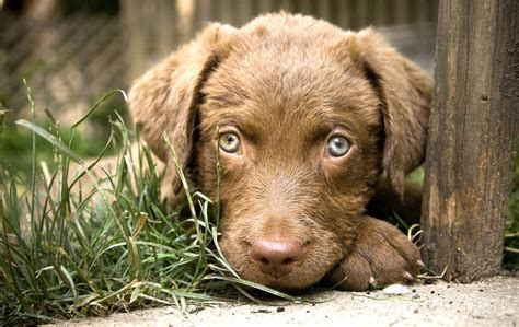 chesapeake bay puppies chesapeake bay retriever puppies photos photos doglers
