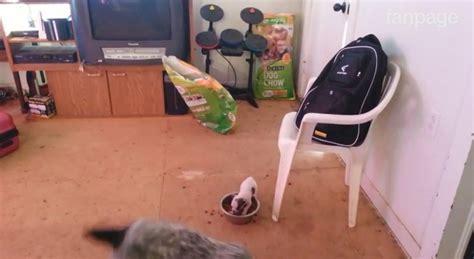 nordest economia il piccolo il piccolo chihuahua difende il suo cibo