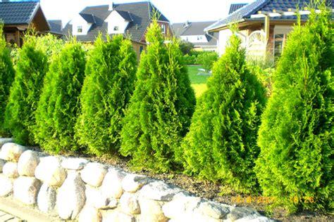 thuja brabant pflanzen 190 thuja smragd rastliny bazar maxbazar sk