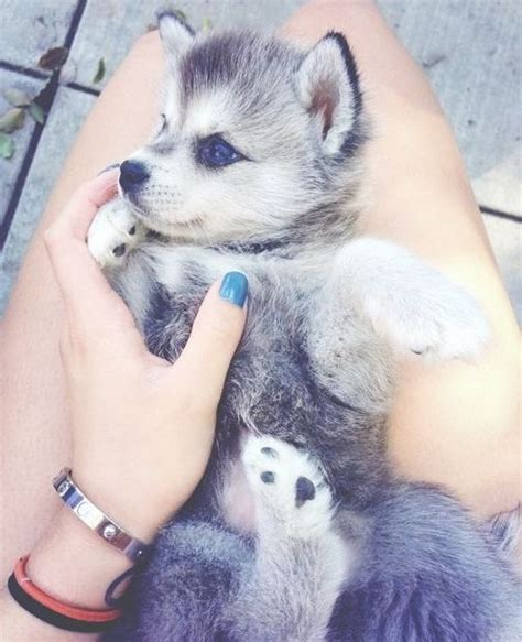 wolf husky puppies with blue eyes cute husky puppy with blue eyes cute dogs ღ pinterest