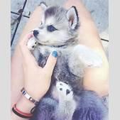 Cute husky pupp...