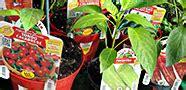 Blattläuse Im Garten by Startseite Pepperworld