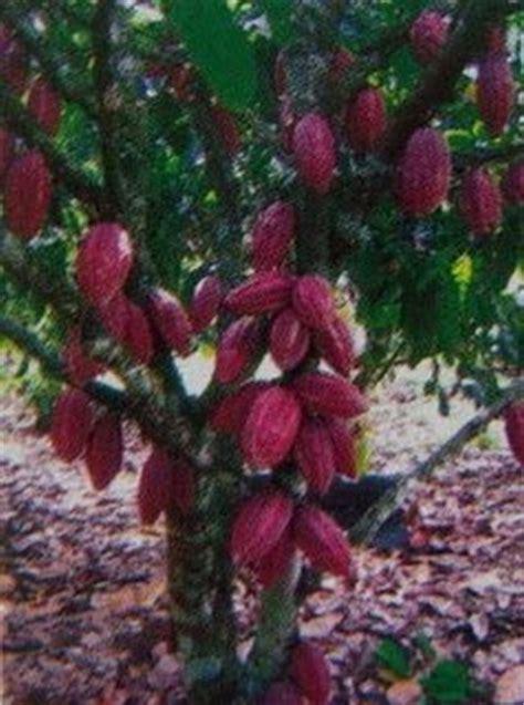 Bibit Kakao Sambung Pucuk bertanam kakao februari 2010