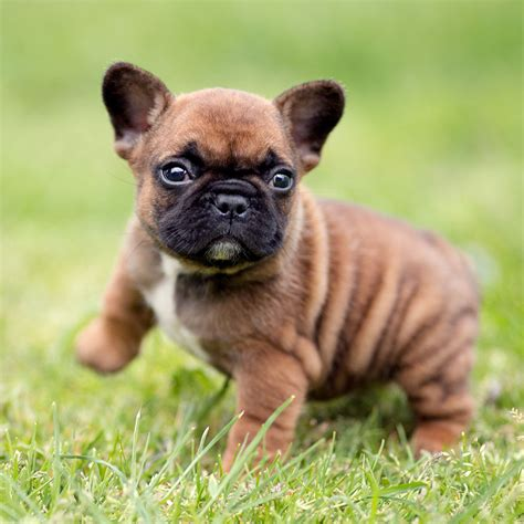 frenchie puppy our bulldog puppy for sale bulldog for sale