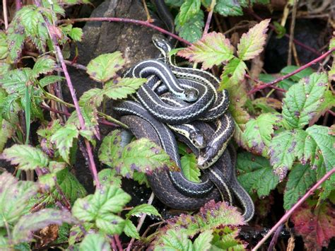 Garter Snake How To Get Rid Of by How To Get Rid Of Garter Snakes Without Killing Them 7