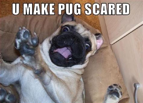 scared pug 10 scared freaked out pugs viralserv