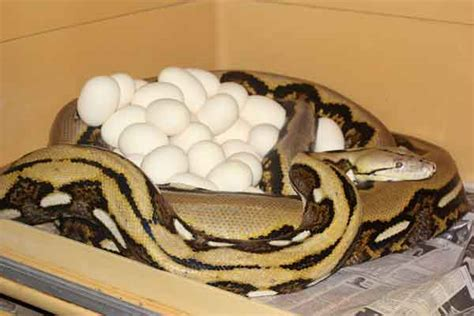 7 Techniques On Caring For A Python by Reticulated Python Care Tips