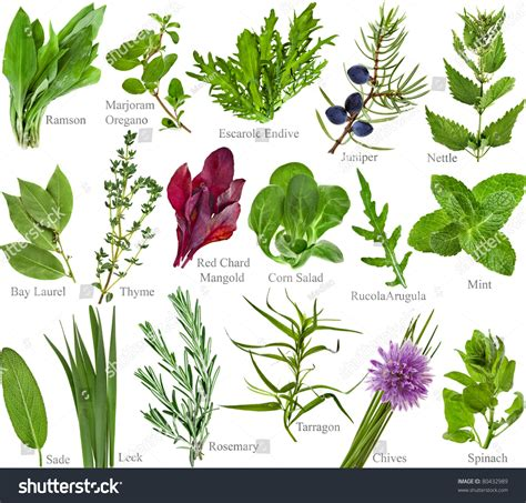 Collection Set Fresh Herb Names Isolated Stock Photo