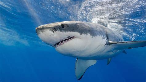 imagenes de tiburones wallpaper lo dice la ciencia 161 a los tiburones les gusta ac dc tn