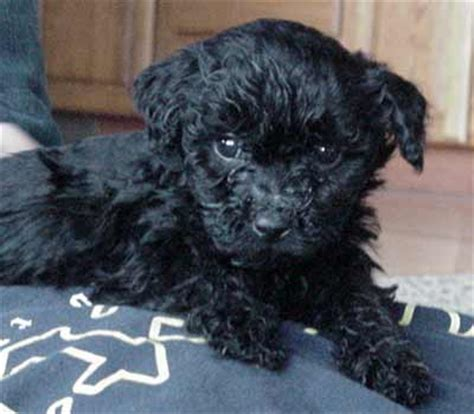 puli puppies for sale black puli and puppies for sale at pannonia kennel
