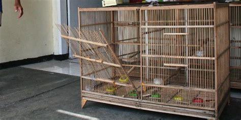 sangkar pleci malang malang majalah kicau tips perawatan burung