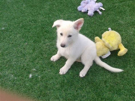 white german shepard puppy white german shepherd puppy doncaster south pets4homes